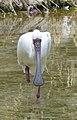 African Spoonbill - Platalea alba - Afrikanischer Löffler - 01.jpg