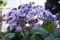 Ageratum corymbosum, Parliament gardens, Melbourne Australia (4618508078).jpg