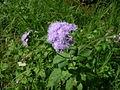 Ageratum houstonianum flower1 (11509103126).jpg