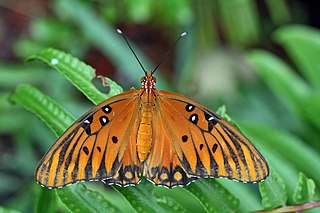 Gulf fritillary species of insect
