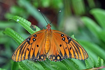 English: Agraulis vanillae butterfly.