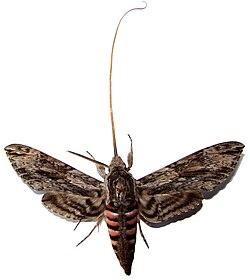 Бабочка с расправленным хоботком