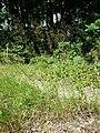 Agrostis capillaris sl2.jpg