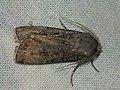 Agrotis segetum - Turnip moth - Совка озимая (41036640092).jpg
