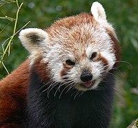 Panda Roux Vikidia Lencyclopédie Des 8 13 Ans