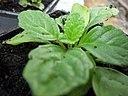 Ajuga reptans young plant