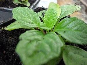 Ajuga reptans - A young plant.