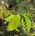 Alangium Salvifolium 10.JPG