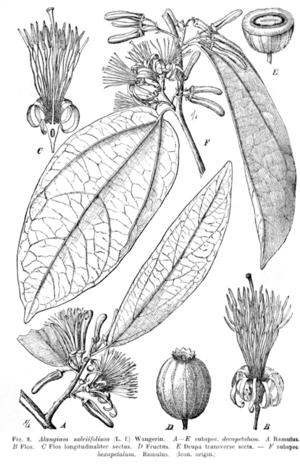 Adolf Engler - Alangium salviifolium  plate from Das Pflanzenreich