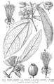Alangium salviifolium Engler.png