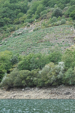 Albariño grapes on a slope near a river in Spain.