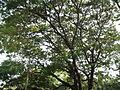 Albizia saman (Raintree) (8).jpg