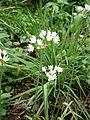 Allium roseum 001.jpg