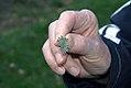 Allium sphaerocephalon 1zz.jpg