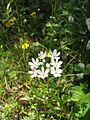 Allium subhirsutum.jpg