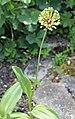 Allium victorialis L.-1F.JPG
