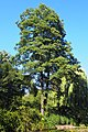 Alnus glutinosa Olsza czarna 2020-07-31 02.jpg