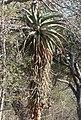 Aloe marlothi - Bergsaloe - Flickr - Ragnhild & Neil Crawford.jpg