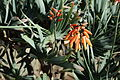 Aloe plicatilis-IMG 0671.JPG