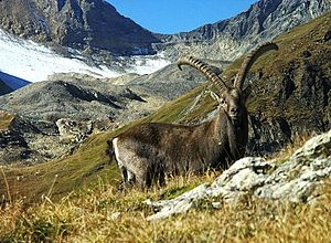 Jungfrau-Aletsch protected area - Alpine ibex (Lötschental valley).