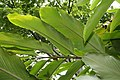 Alpinia purpurata 53zz.jpg