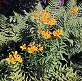 Alstroemeria cultivar at Gibberd Garden Essex England 1.jpg