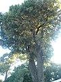 Alzina de Can Sentmenat P1510554.jpg