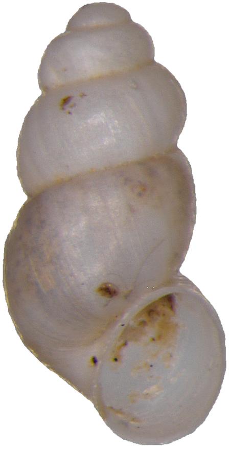 Alzoniella slovenica