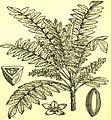 AmCyc Frankincense - Boswellia serrata.jpg