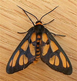 <i>Amata</i> (moth) Genus of moths