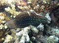 Amblygobius semicinctus.jpg