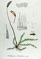 Amblystegium Juratzkanum — Flora Batava — Volume v12.jpg