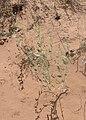 Ambrosia acanthicarpa kz13.jpg