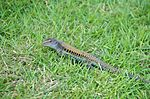 Ameiva exsul in grass.jpg