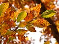 American Beech Leaves - Flickr - treegrow (8).jpg