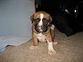 American Bulldog Puppy.jpg