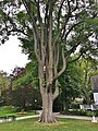 American Elm Tree in Halifax Public Gardens - August 2019 01.jpg