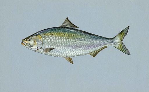 American shad fish alosa sapidissima