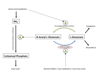 Aminoacylase - Aminoacylase's Role in Urea Cycle Regulation (click for larger image)