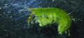 Ampithoe valida male.png