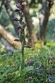 Anacamptis collina, Crete 02(js).jpg