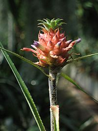 Ananas nanus (TS) 1-00740.jpg