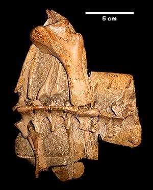 Chapada do Araripe - The shoulder girdle of Anhanguera santanae of the Santana formation, Brazil