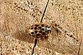 Anisosticta novemdecimpunctata (28984307440).jpg