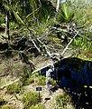 Annona glabra - Naples Botanical Garden - Naples, Florida - DSC09753.jpg