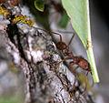 Ant, Harvester (239161135).jpg