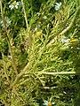 Anthemis cotula leaf (02).jpg