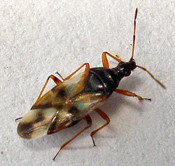 Anthocoris nemorum1.jpg