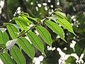 Antiaris toxicaria - Upas Tree leaves at Mayyil.jpg