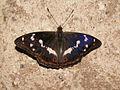 Apatura iris 20060707-01.jpg
